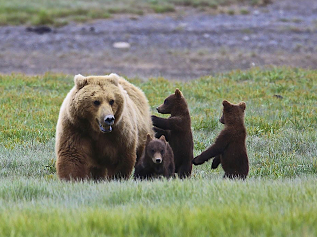 A brown bear with its three baby bear cubs in a green field.